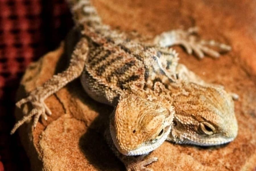 New Pets Bearded Dragon Care