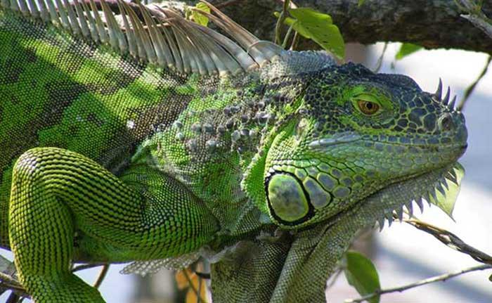 Learn ... & Giant Green Iguana Care Sheet - World Reptiles and Amphibian Center