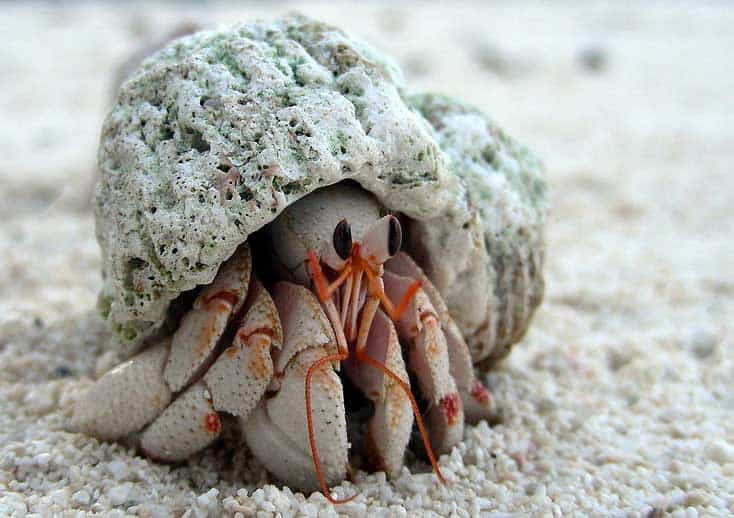 Hermit crab - photo#23