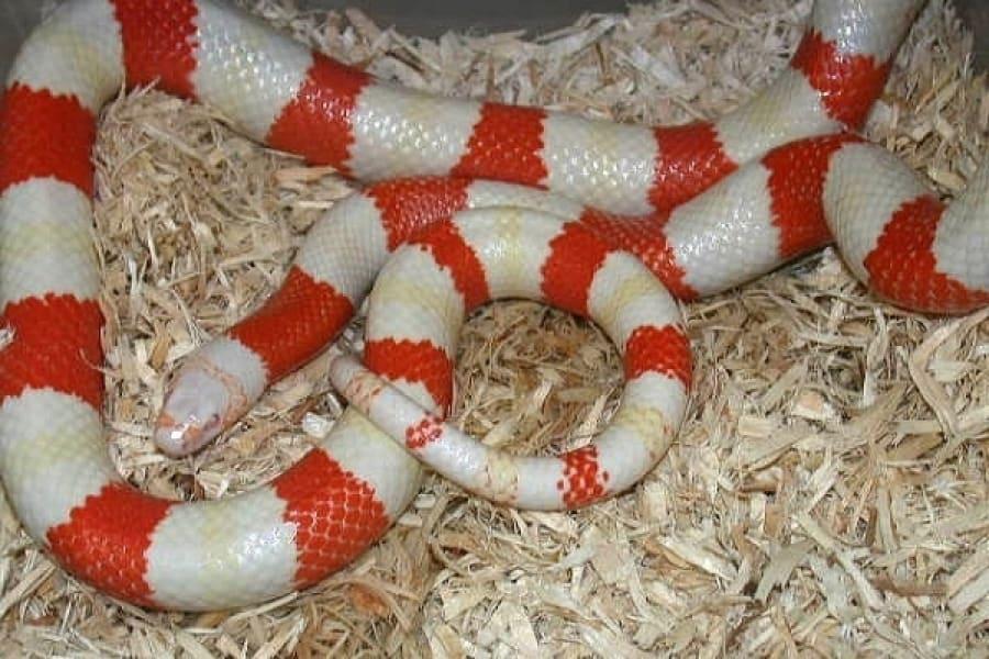 Honduran Milk Snake - World Reptiles and Amphibian Center